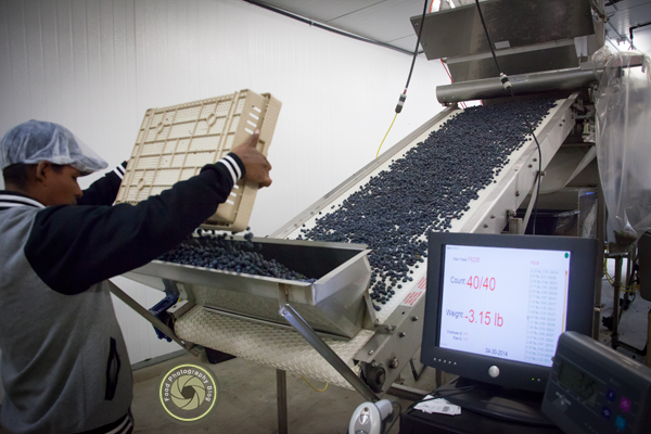 Processing Blueberries | Food Photography Blog