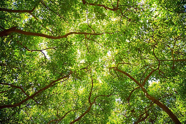 Hass Avocado Tree Canopy | Food Photography Blog