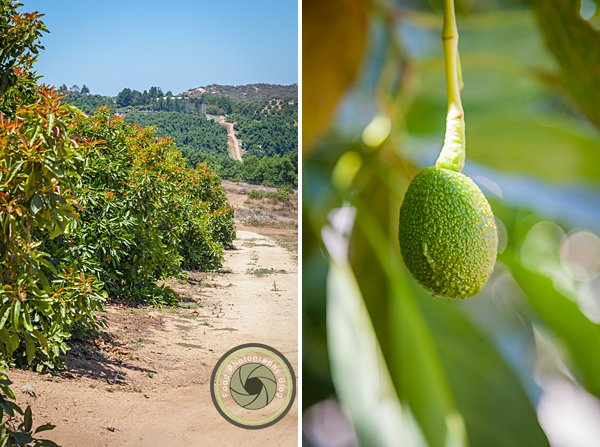 Hass Avocado Trees | Food Photography Blog