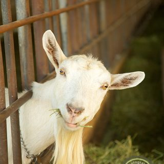 A Photo Shoot with Mendocino Farms Restaurant and a Beautiful Goat Farm