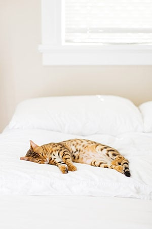 Stripped cat sleeping on a bed with white linens
